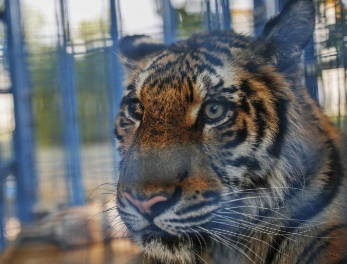 Po Paríži sa voľne pohyboval tiger, zastrelili ho dva kilometre od Eiffelovej veže