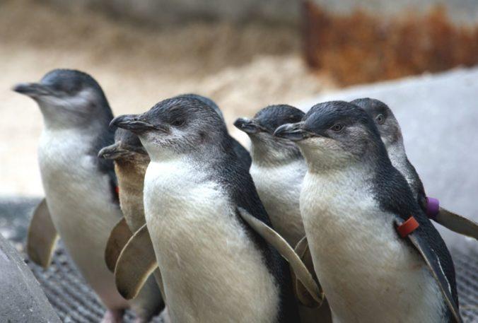 Desiatky tučniakov modrých na pláži v Tasmánii zrejme zabil pes, úrady hrozia vysokými pokutami