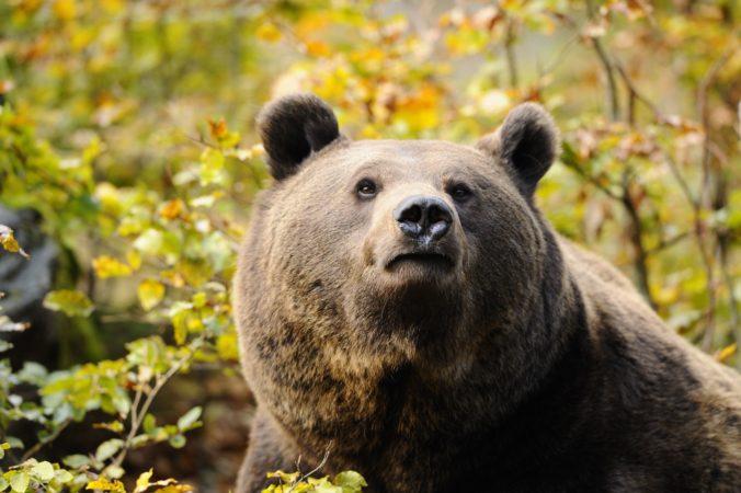 Ochranári zachytili medvediu ruju